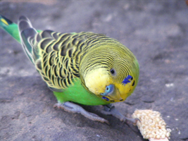 Budgie. by TheIndefatigable