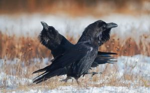 Pair Of Ravens by Sergey-Ryzhkov