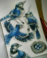 #13 Blue Jay by ComposedLines