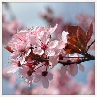 spring is pink by Ingelore