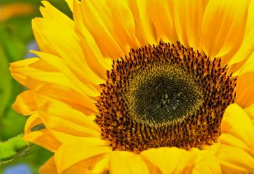 Sunflower 001 by BusterBrownBB