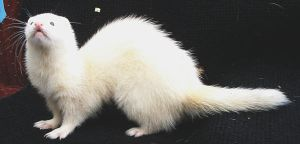 Ferret 2 Link by Penny-Stock