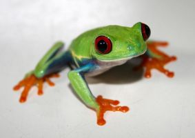Red Eyed Tree Frog  4 by pdxcabby