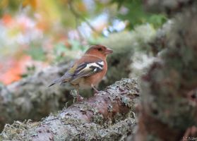 Male chaffinch by kiwipics
