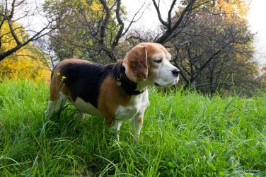 Beagle in the Grass by Swevener