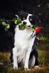 Border Collie gentleman by Ksuksa-Raykova