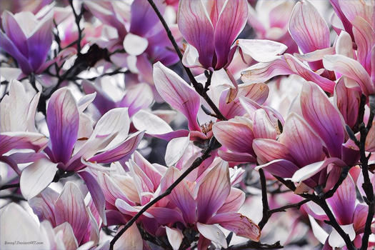 Magnolia Blossoms by rooey1