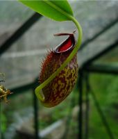 Nepenthes hybrid-see comment by KankurouOfTheSand