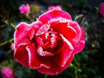Cold Roses Mark 2. by YagersArt