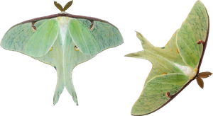 Luna Moths by EnchantedWhispersArt