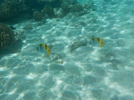 Double-saddle Butterflyfish by Kooskia