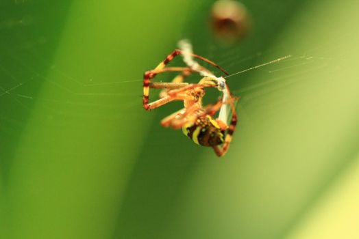 spider orange eating prey by symons-photography