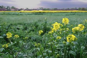 Rape flowers by CitizenJustin
