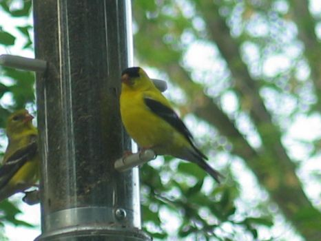 Another Yellow Finch by idkfe