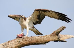 Dish of the day - Osprey by Jamie-MacArthur