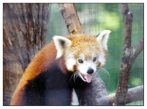 Mr. Red Panda by KennyBlankenship