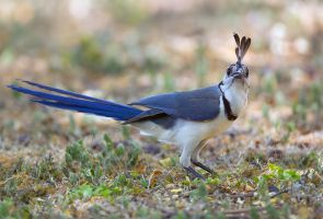 Bad hair day- White-throated Magpie-Jay by Jamie-MacArthur