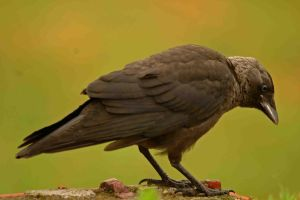 Jackdaw by A2812