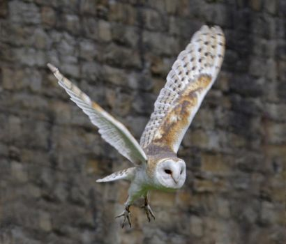 Barn Owl in Flight by GailJohnson