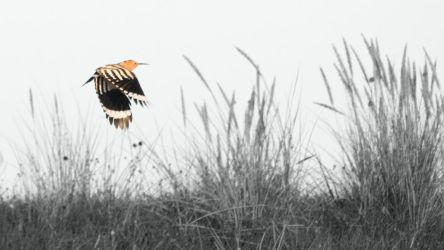 Hoopoe by BlAg001
