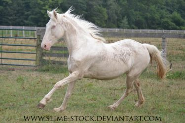 Nov 2015: cremello TWH mare canter at camera by slime-stock