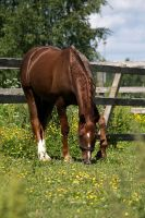 Gelding on a meadow by tassunet
