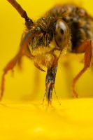 Feeding Nomada Bee 2 by Alliec