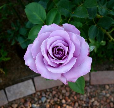 Suntory Applause (or Sterling Silver Rose) by pinkythepink