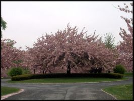 Cherry Blossoms II - 2008 by LindaLee