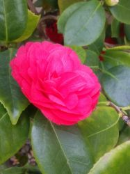Hot pink rose #3 by Kagome1234545