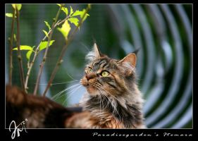 Maine Coon by kyolein