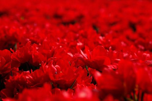 field of red by LaMusaTriste