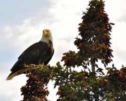 Bald Eagle by AtomicGamer