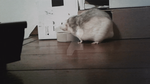 Snoopy Rat drinking 11 sec. GIF (10 MB) by Eternatease