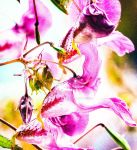 Himalayan Balsam 3 by SaraWolfPhotographer