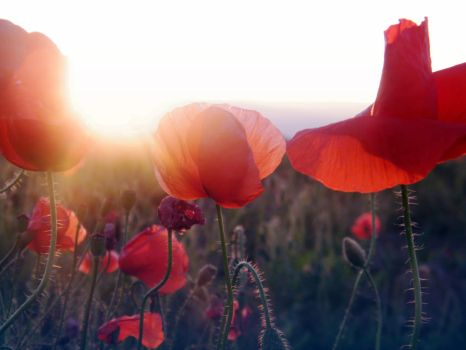 poppies by iuliana13