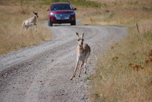 Pronghorn on the Road 004 by Mad-Willy