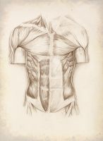 Muscles of the Torso: anterior aspect by cosmicDancing