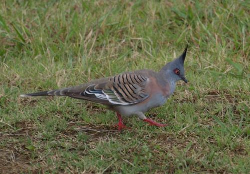 Crested Pigeon by FireflyPhotosAust