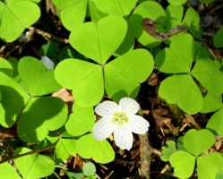 wood-sorrel by Mittelfranke