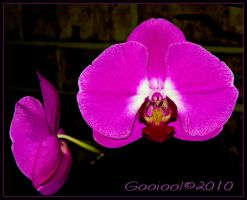 Orchid by Gooiool