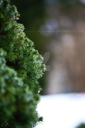 Pine tree close-up by quiet-as-shadow