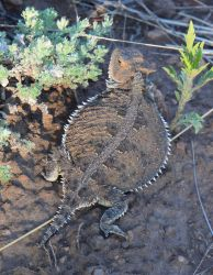 Horned Toad by Toniasis