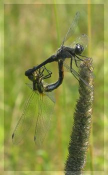 Mating Dragonflies by marble911