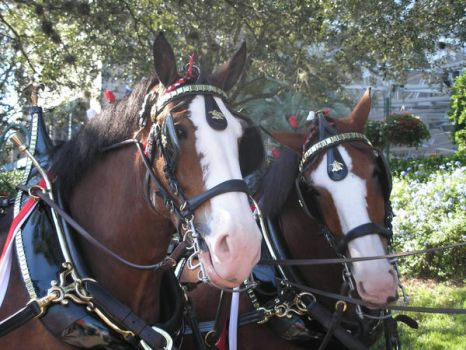 Clydesdales at SeaWorld 1 by FsuEquestrian