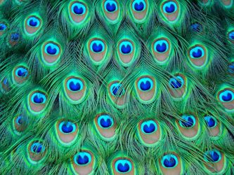 Stock 280: peacock feathers by AlzirrSwanheartStock