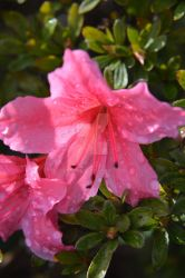 Waterdrops on a pink flower by Ruminia