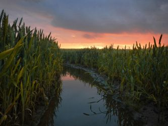 Cornfield at sunset by Acrylicdreams