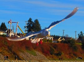 Banking Seagull In Flight by wolfwings1