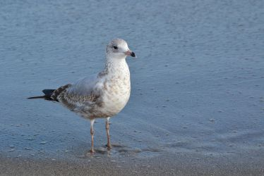 Gull stock 2 by PsycoJimi